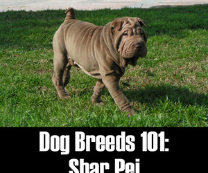 cute dogs, dogs, and shar pei image