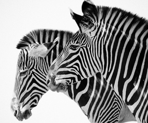 animal, zebra, and beautiful image