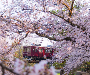 cherry blossoms, japan, and sakura image