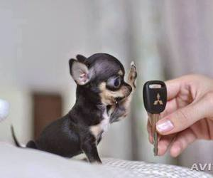 chihuahua, little dog, and dog image