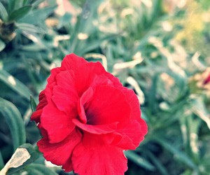 flower and red image
