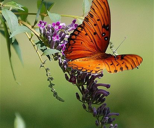 butterfly, nature, and orange image
