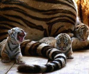 tiger, baby, and animal image