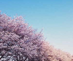 blue, cherry blossoms, and dusk image
