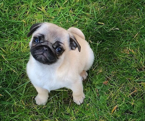 fluffy, pug, and puppy image