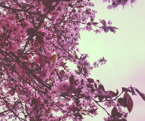 beauty, cherry blossom, and flower image