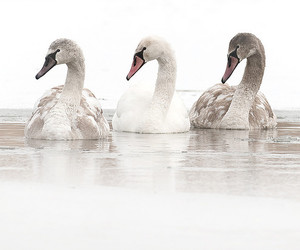 Swan, animal, and white image