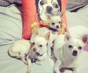 Animales, chihuahuas, and dogs image