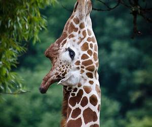africa, animal, and giraffe image
