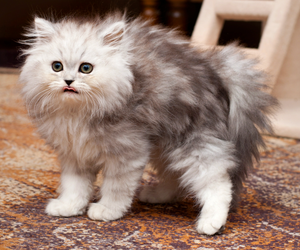 adorable, cat, and fluffy image