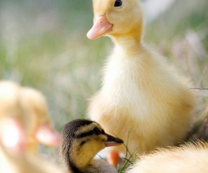 cute, animal, and duckling image