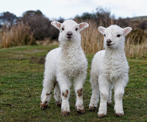 farm, lambs, and nature image