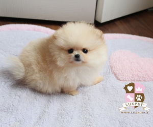 kawaii, OMG, and pomeranian image