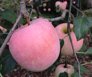 apple, pink, and nature image