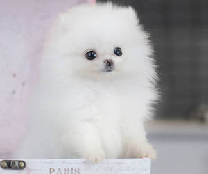pomeranian and puppy image