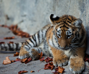 tiger, cute, and adorable image