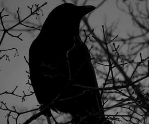 crow, bird, and raven image