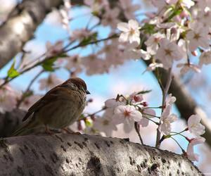 bird, cherry blossom, and japan image