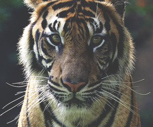 animal, tiger, and wild image