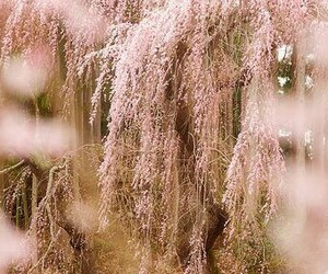 blossoms, cherry, and pink image