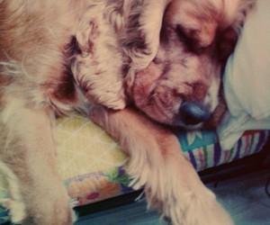 cocker spaniel, dog, and sleeping image