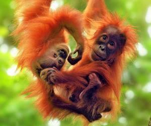 monkey, animals, and orangutans image