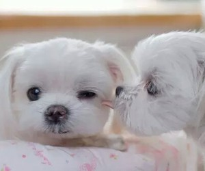 adorable, little dogs, and love image