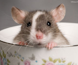 rodent, cute animals, and rat image