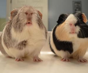 animals, guinea pig, and cute image