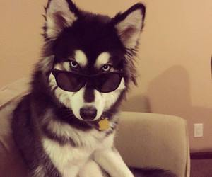 dog, sunglasses, and husky image