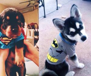 adorable, batman, and huskies image
