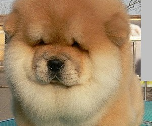 dog, cute, and chow chow image