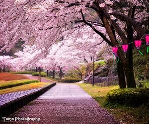 japan, pink, and sakura image