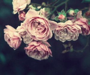adorable, beautiful, and roses image