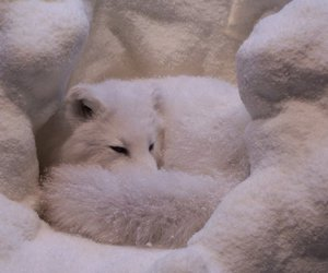 white, fox, and snow image