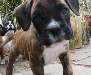 boxer, puppy, and brindle image