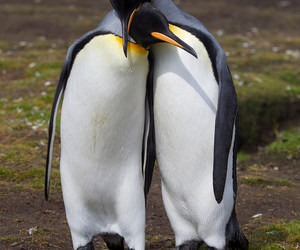 penguins and love image