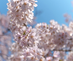 blossom, cherry blossoms, and flowers image