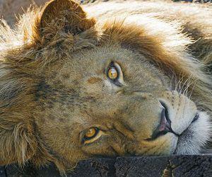 lions image