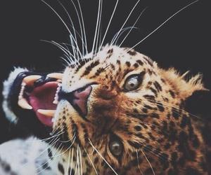 animal, leopard, and nice image
