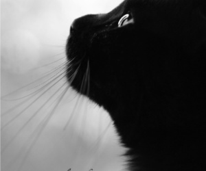 cat, kitty, and black and white image
