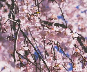 cherry, cherry blossoms, and cherry tree image