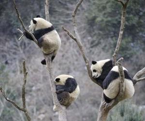 panda, animal, and tree image