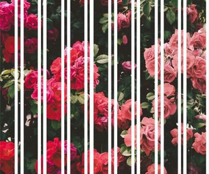 flores, rosas, and wallpapers image
