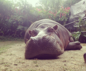 hippo, lazy day, and hippopotamus image