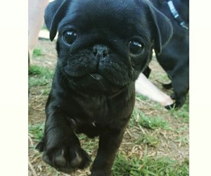 black, pug, and puppy image