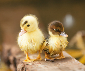 animals, chicks, and nature image