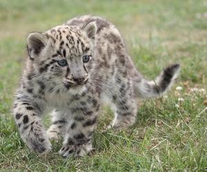 baby animals, big cat, and cub image