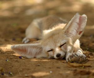 cute animals, fennec fox, and foxes image