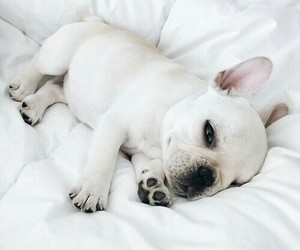 adorable, french bulldog, and nice piggy image